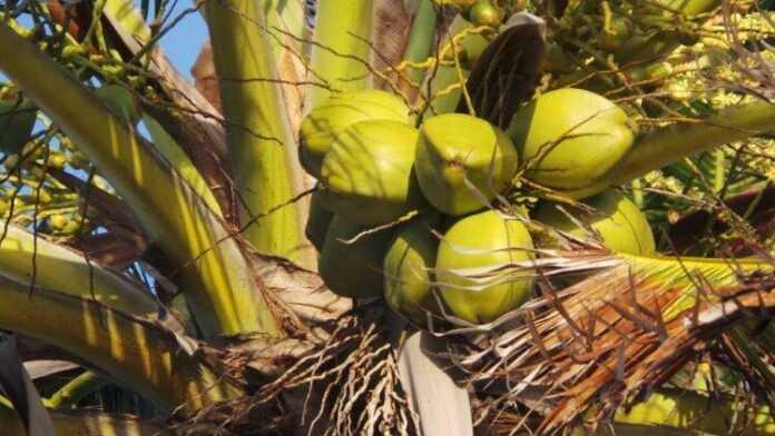 coconut 214732 960 720 750x422 1