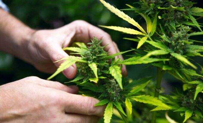 kanabis hrvatska marihuana medicina aps 811976660