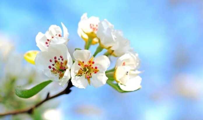 proljece behar jabuka sunce pixabay