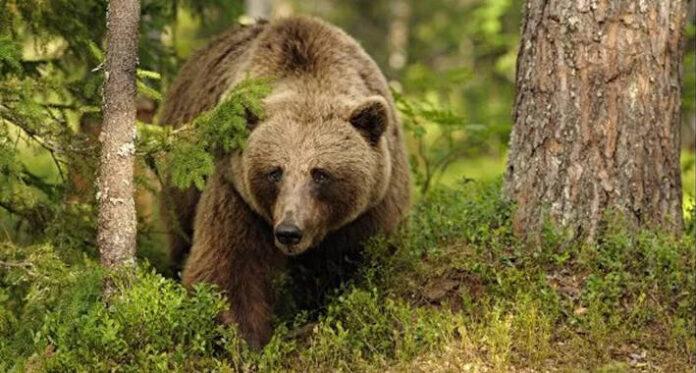 medvjed 1