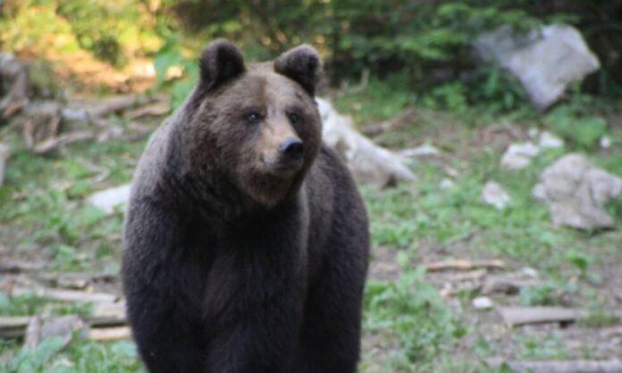 mrki medvjed fena
