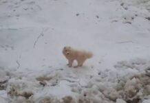 pas samojed antartik prtscr