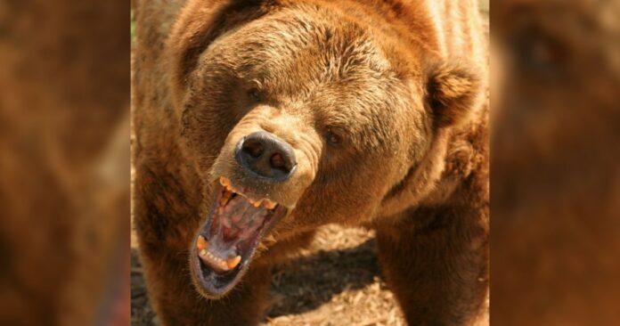 grizli medvjed napad pinterest
