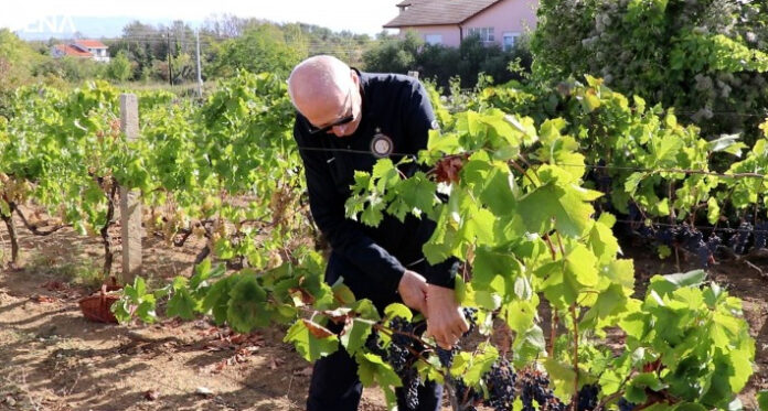 grozdje loza FENA 1