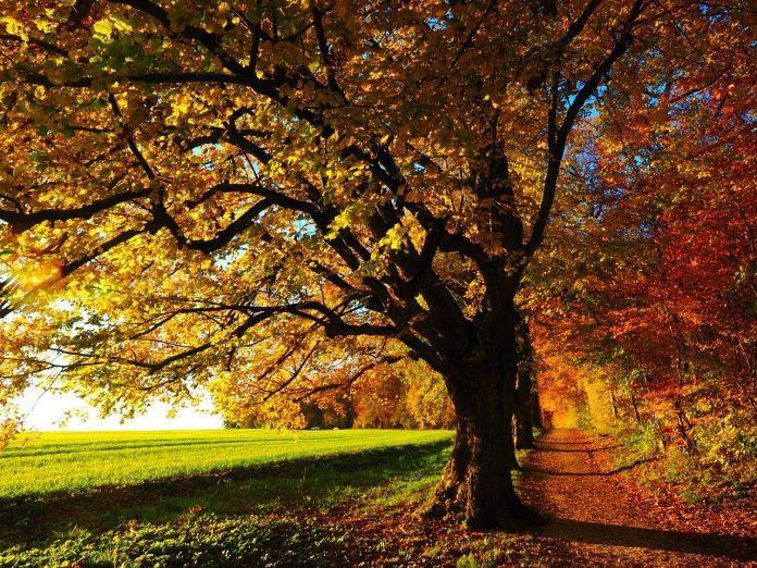 lipa drvo pixabay 696x522 1