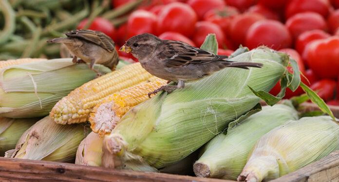 povrce kukuruz pijaca hrana pixsell