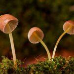 gljive ilustracija