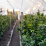 marihuana plantaza