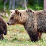 mrki medvjed